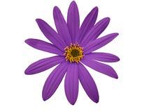 庭院紫色花,白色隔绝了与裁减路线的背景 特写镜头 免版税图库摄影
