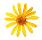 庭院黄色花,白色隔绝了与裁减路线的背景 图库摄影