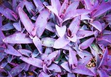 庭院backgr的紫色紫鸭跖草pallida植物 库存图片