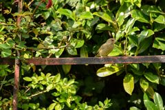 庭院Greenfinch和Rosebush 库存图片