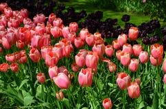 庭院keukenhof 五颜六色的花和开花在是世界` s最大的花园的荷兰春天庭院Keukenhof里 免版税库存照片