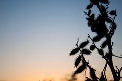 庵耳属植物干燥在日落天空背景 免版税库存图片