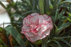 康乃馨与红色边缘的花白色 免版税库存照片
