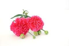 康乃馨两朵花在白色背景的 库存照片