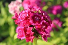 康乃馨在夏天庭院里 免版税库存照片