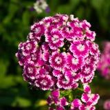 康乃馨在庭院里 免版税库存图片