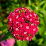 康乃馨在庭院里 库存照片
