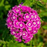 康乃馨在庭院里 图库摄影