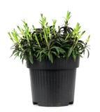 康乃馨在白色背景的黑罐开花 图库摄影