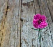 康乃馨查出的粉红色 库存照片