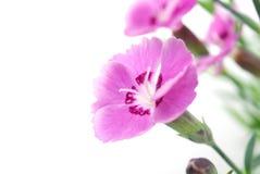 康乃馨粉红色 库存照片