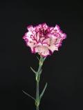 康乃馨紫色白色 库存图片