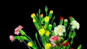 康乃馨花束开花,与阿尔法通道的定期流逝 股票录像
