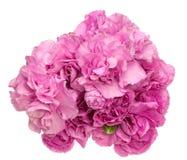 康乃馨花束 库存照片
