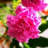 康乃馨 在葡萄酒生动的颜色的艺术性的神色 库存图片
