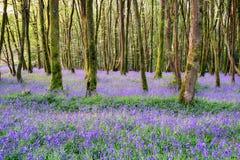 康沃尔会开蓝色钟形花的草森林 免版税库存照片