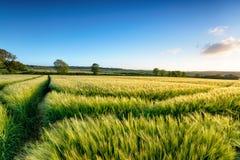 康沃尔大麦领域 免版税库存图片