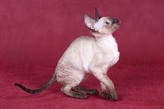 康沃尔小猫rex 免版税库存照片