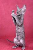 康沃尔小猫rex 免版税库存图片