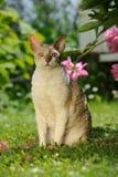康沃尔雷克斯猫坐绿色草坪 免版税库存照片