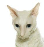 康沃尔rex白色 免版税库存图片