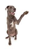 延伸极大的爪子的丹麦人狗 免版税库存图片