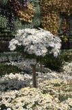 延命菊与植物墙壁的雏菊显示在背景中 免版税库存照片