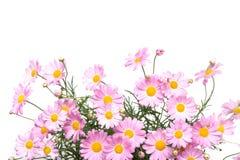 延命菊在粉色的雏菊花 免版税库存照片