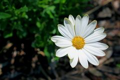 延命菊树Daisyï ¼ ŒArgyranthemum Frutescens 库存照片