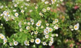 延命菊雏菊花在庭院里 免版税库存照片