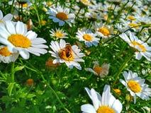 延命菊雏菊花在日立海滨公园,日本 免版税库存图片
