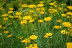 延命菊雏菊黄色花,春黄菊属Tinctoria Kelwayi 库存照片