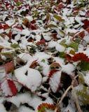 延迟秋天 有绿色和红色叶子的草莓种植园在第一白色蓬松雪下 免版税库存照片
