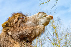 延长他的舌头的骆驼的画象 库存图片