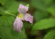 延龄草花在'神圣的树丛里' 免版税库存图片