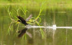 离开与在它的嘴的一条鱼的美洲蛇鸟 免版税库存图片