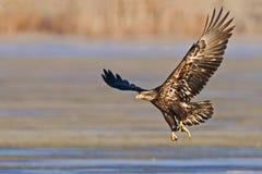 离开与鱼图象的未成熟的白头鹰 免版税库存图片