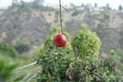 开发的石榴果子在加利福尼亚 图库摄影