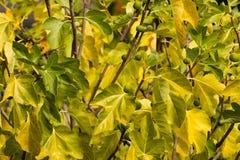 离开国王无花果树用叶子未成熟的果子在秋天 库存图片