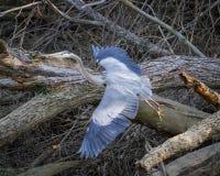 离开在伊利诺伊的伟大蓝色的苍鹭的巢 库存照片