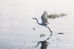 开始伟大的白鹭从湖飞行 免版税图库摄影