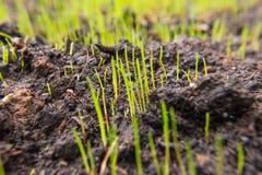 开始发芽新鲜的绿草种子的特写镜头  图库摄影