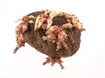 开始发芽的老土豆 免版税库存照片