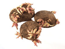 开始发芽的老土豆 免版税图库摄影