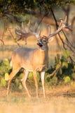 开始巨型的宽白尾鹿的大型装配架摆脱天鹅绒 库存图片