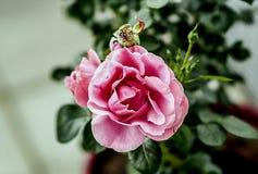 开始桃红色的玫瑰凋枯 免版税库存照片
