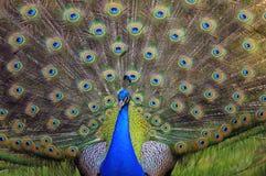 开始的显示用羽毛装饰其孔雀 库存照片