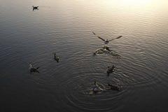 开始的海鸥飞行在水外面 免版税库存图片