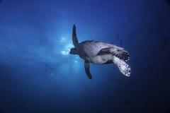 开始的海龟浮出水面 免版税库存图片