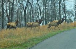开始的麋牧群穿过路 图库摄影